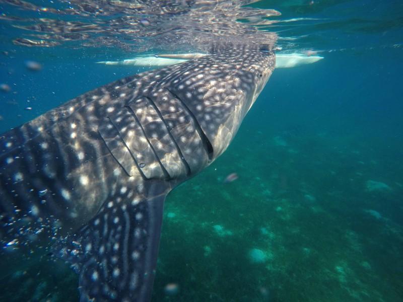 オスロブで一緒に泳ぐことができるジンベイザメ