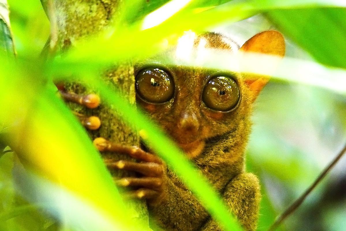 世界最小のメガネザル「ターシャ」