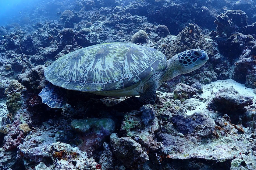 モアルボアルのウミガメ